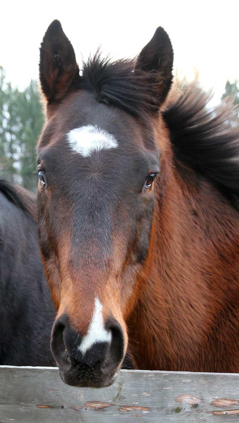 Sanctuary Horse - Hawk